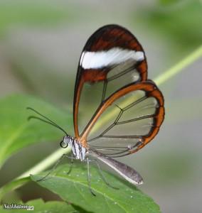 تصاویر شگفت انگیز از پروانه های شفاف